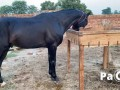 english-thorough-breed-horse-for-sale-small-0