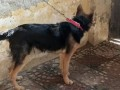 gsd-double-coat-male-small-0